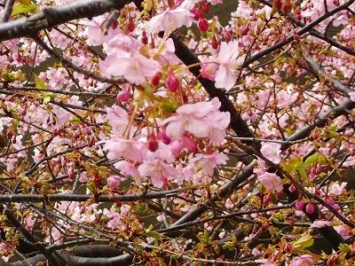 お花見です、桜と梅が共演中です。_b0137932_12581937.jpg