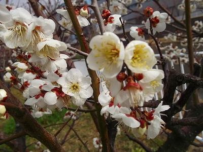 お花見です、桜と梅が共演中です。_b0137932_12585695.jpg