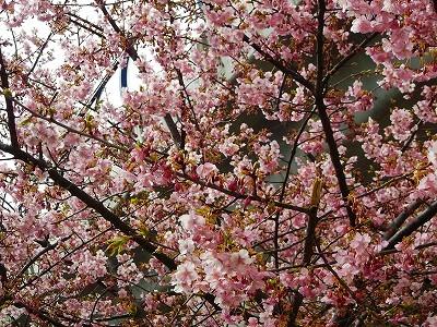 お花見です、桜と梅が共演中です。_b0137932_1304321.jpg