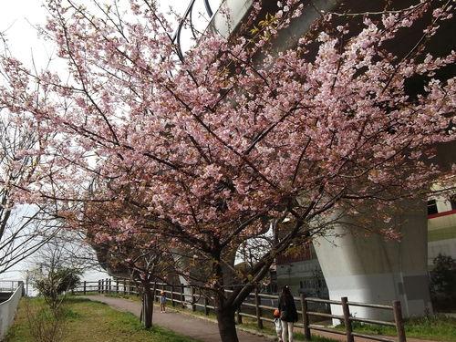 お花見です、桜と梅が共演中です。_b0137932_1305321.jpg
