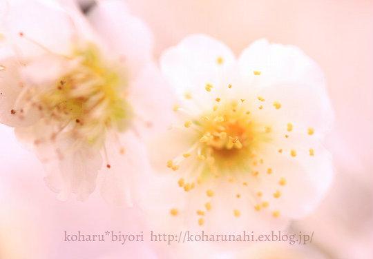 庭の梅・2_f0299486_20344324.jpg