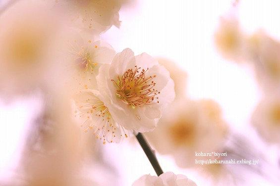 庭の梅・2_f0299486_20435767.jpg