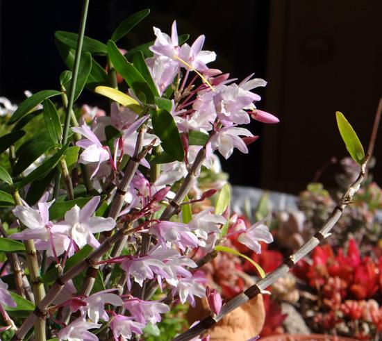 ミニシクラメンの葉組み、多肉植物に素焼きプレートなど_a0136293_15474682.jpg