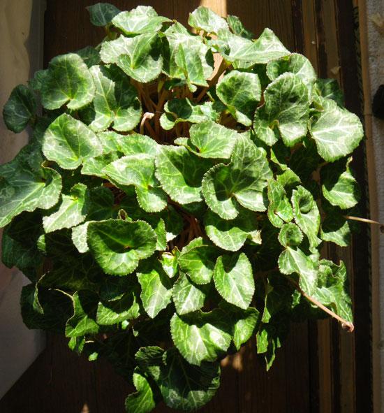 ミニシクラメンの葉組み、多肉植物に素焼きプレートなど_a0136293_1551825.jpg