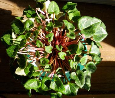 ミニシクラメンの葉組み、多肉植物に素焼きプレートなど_a0136293_15552689.jpg