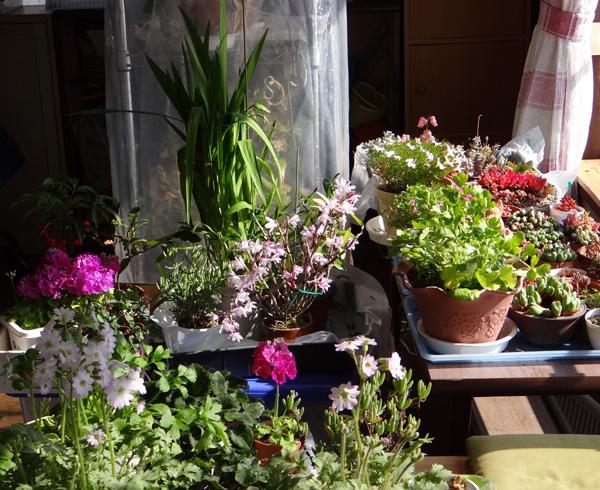 ミニシクラメンの葉組み、多肉植物に素焼きプレートなど_a0136293_16161325.jpg