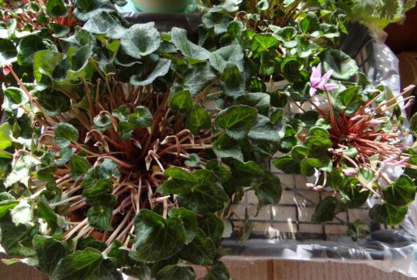 ミニシクラメンの葉組み、多肉植物に素焼きプレートなど_a0136293_1625925.jpg