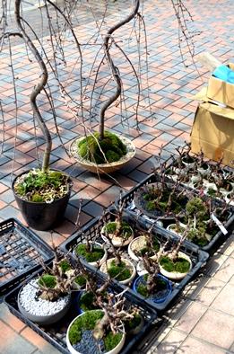 さくら盆栽展はじまりました_d0263815_15253438.jpg