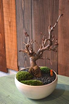 さくら盆栽展はじまりました_d0263815_15341375.jpg