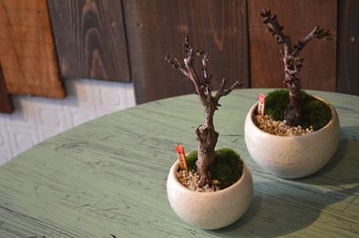 さくら盆栽展はじまりました_d0263815_1548656.jpg