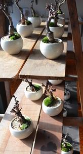 さくら盆栽展はじまりました_d0263815_1625167.jpg