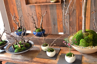 さくら盆栽展はじまりました_d0263815_1643771.jpg