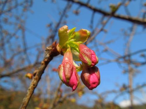 2014年 河津桜開花状況①_c0177995_12425456.jpg