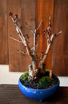 桜盆栽の育て方_d0263815_17151764.jpg