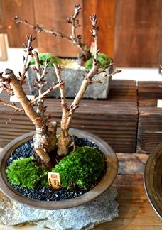 桜盆栽の育て方_d0263815_172139.jpg