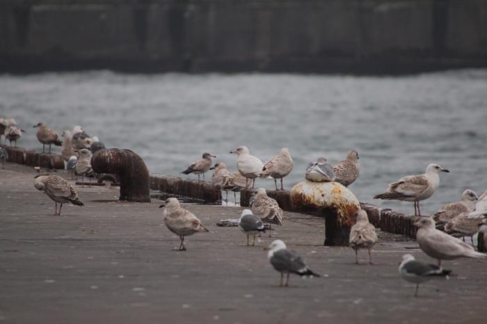 2014.3.1 カモメがいっぱい居ました・銚子漁港・シロカモメ、カナダカモメ、アカエリカイツブリ、カンムリカイツブリ_c0269342_06151472.jpg