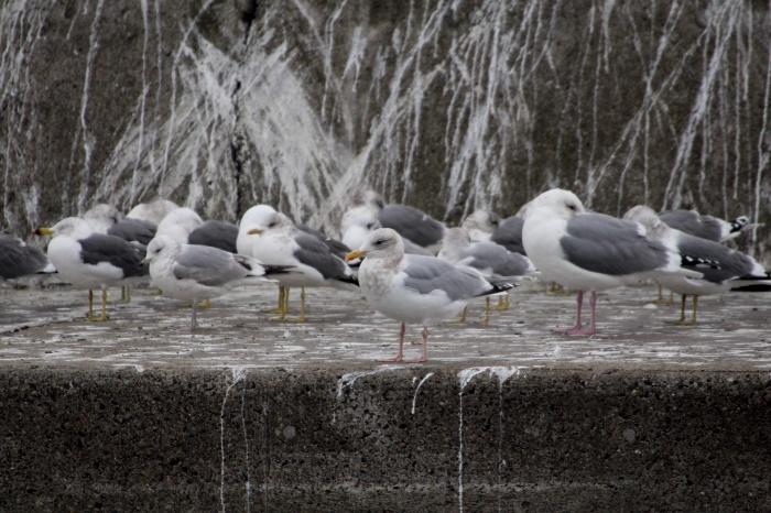 2014.3.1 カモメがいっぱい居ました・銚子漁港・シロカモメ、カナダカモメ、アカエリカイツブリ、カンムリカイツブリ_c0269342_08573257.jpg