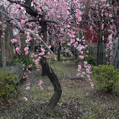 梅の花_b0319996_15362470.jpg
