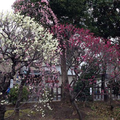 梅の花_b0319996_15362521.jpg