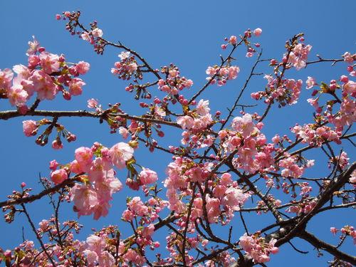 2014年 河津桜開花状況②_c0177995_13573420.jpg