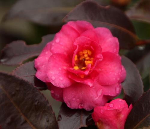 椿が間もなく盛り 植物園_e0048413_2235166.jpg