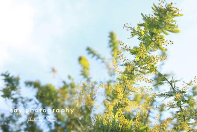 あの木は、 ミモザ。_d0220593_20281699.jpg
