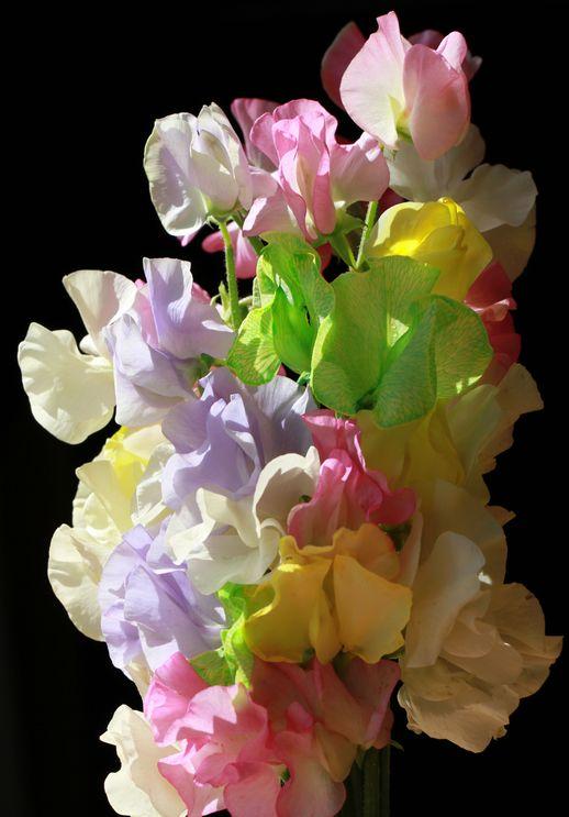 春色スイトピー_a0256349_2335544.jpg
