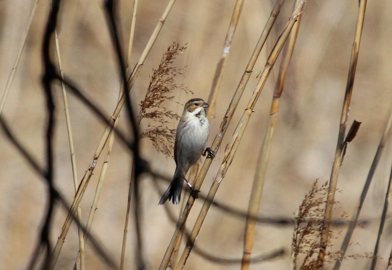 MFで出会えた、冬鳥オオジュリン冬羽から夏羽に変わりつつ_f0239515_21571335.jpg