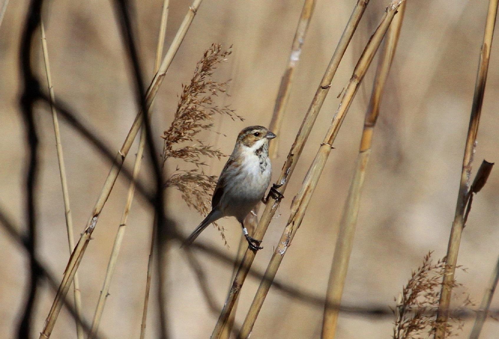 MFで出会えた、冬鳥オオジュリン冬羽から夏羽に変わりつつ_f0239515_215822.jpg