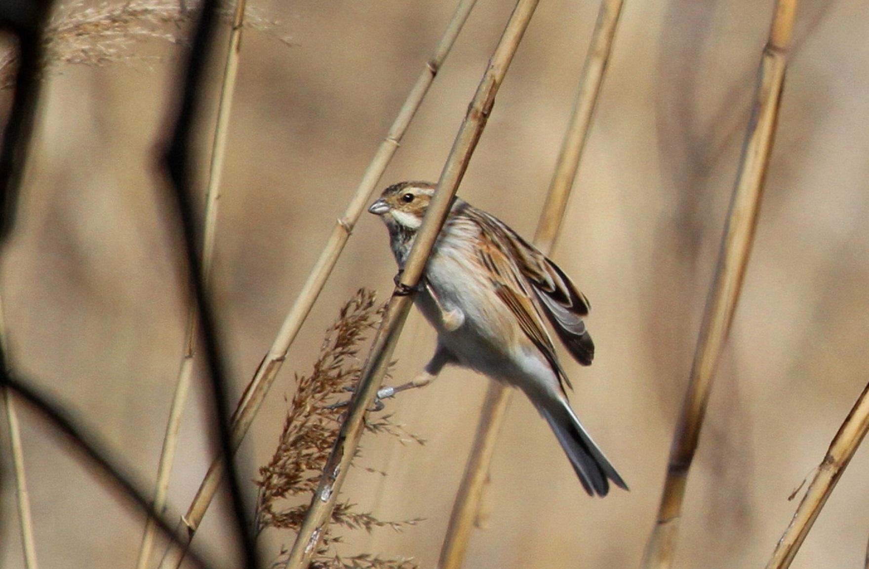 MFで出会えた、冬鳥オオジュリン冬羽から夏羽に変わりつつ_f0239515_21585495.jpg