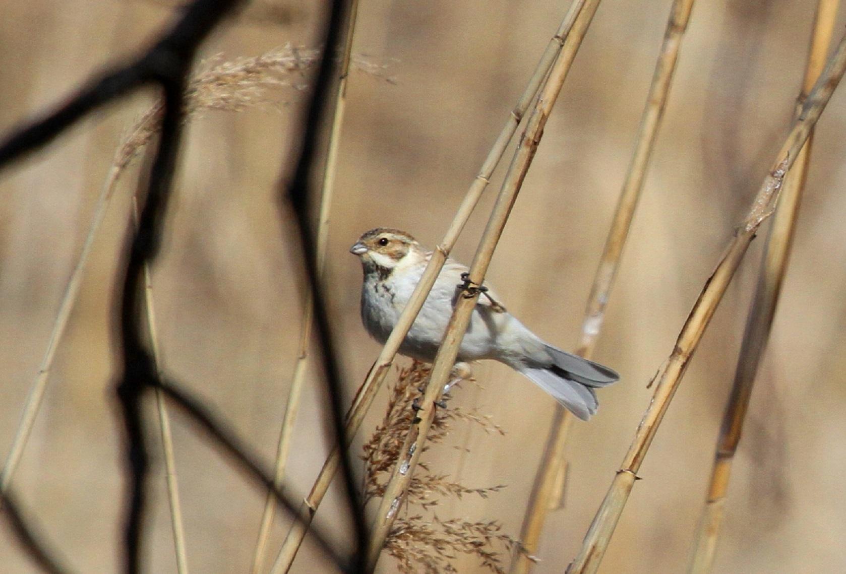 MFで出会えた、冬鳥オオジュリン冬羽から夏羽に変わりつつ_f0239515_22039.jpg