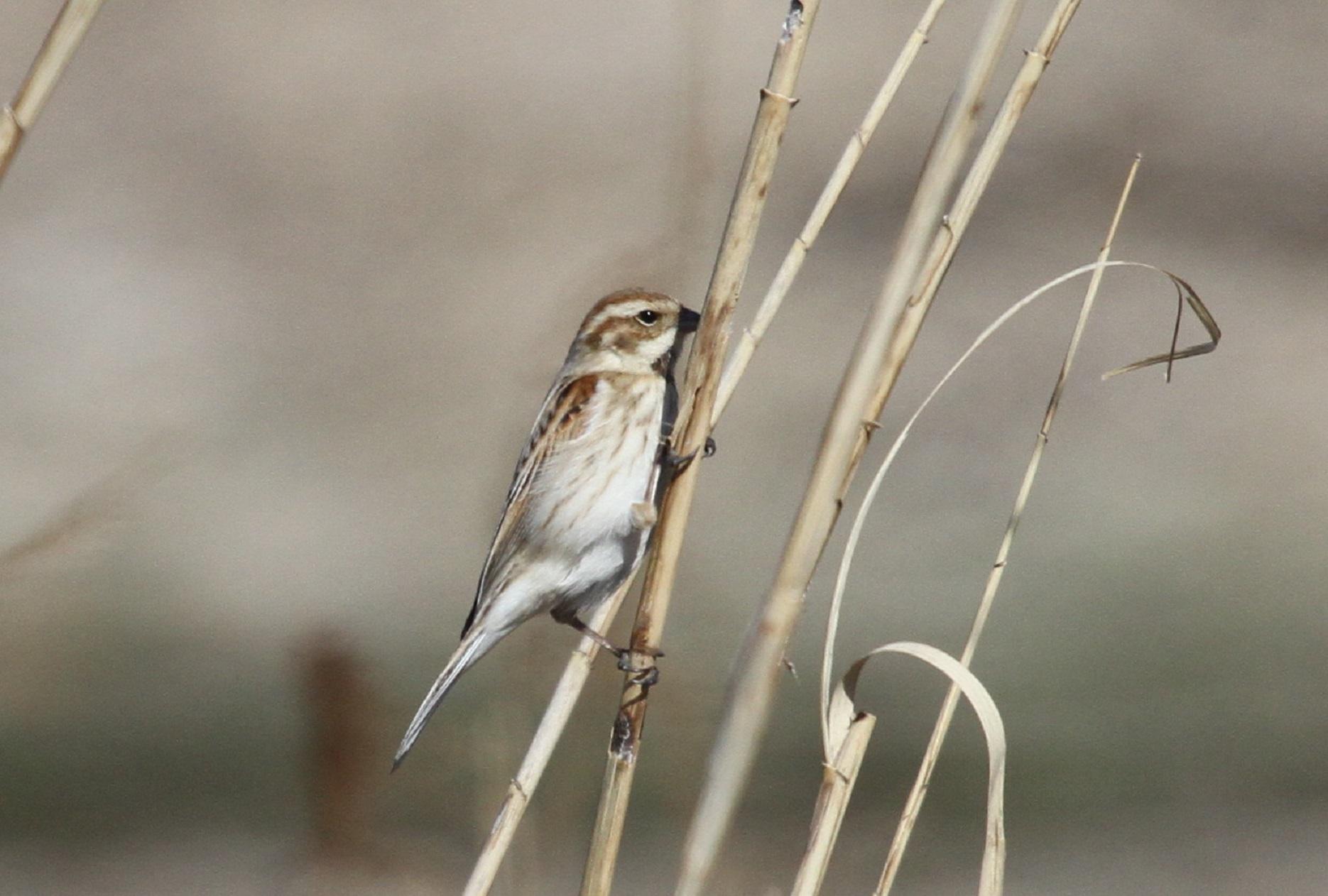 MFで出会えた、冬鳥オオジュリン冬羽から夏羽に変わりつつ_f0239515_2233432.jpg