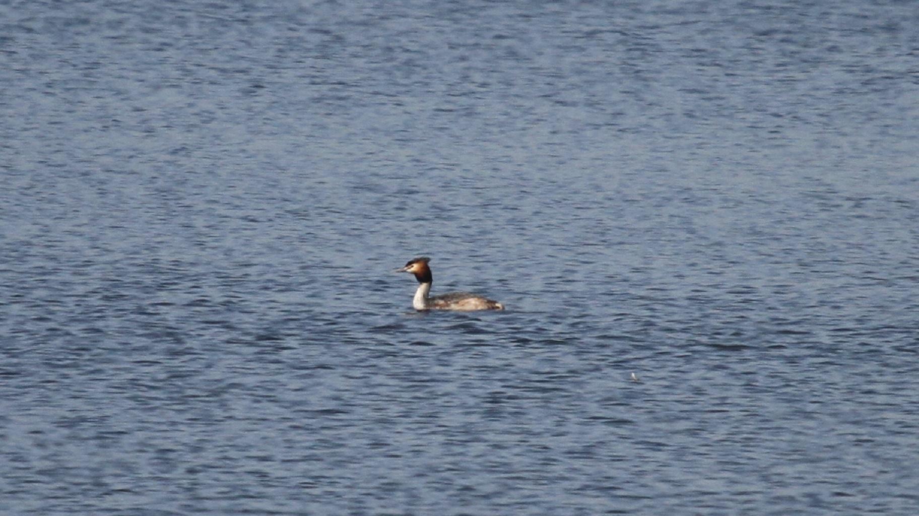 MFで出会えた、冬鳥オオジュリン冬羽から夏羽に変わりつつ_f0239515_2244055.jpg