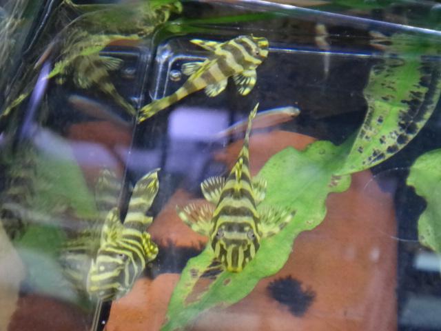 140306 熱帯魚・水草_f0189122_1342471.jpg