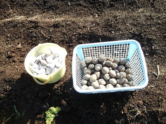 ジャガイモの植え付け....逆さ植えにもチャレンジ!_b0137932_16201285.jpg