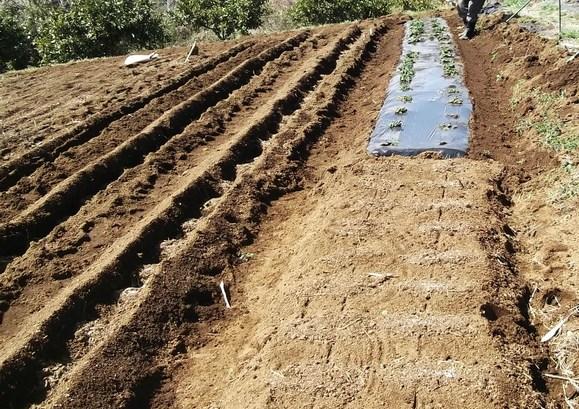 ジャガイモの植え付け....逆さ植えにもチャレンジ!_b0137932_1761061.jpg