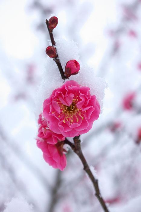 なごり雪 ~紅梅~_c0067040_2392551.jpg