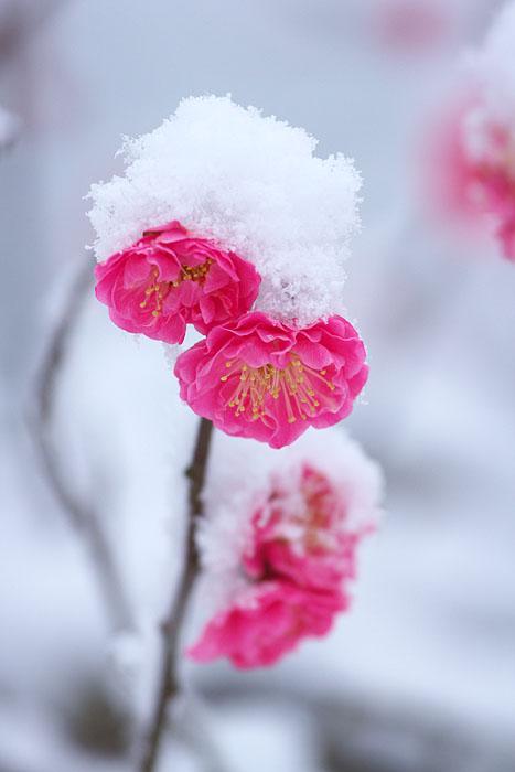 なごり雪 ~紅梅~_c0067040_2393569.jpg