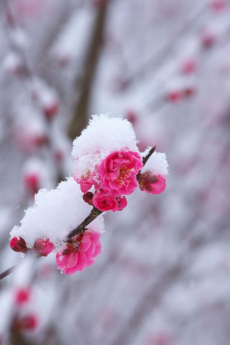 なごり雪 ~紅梅~_c0067040_2394320.jpg