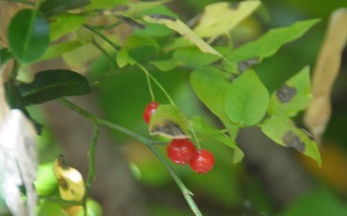 10月の赤い実_d0321585_19425005.jpg
