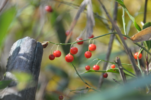 10月の赤い実_d0321585_20013356.jpg