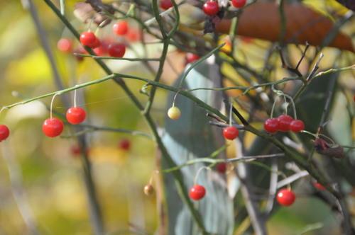 10月の赤い実_d0321585_20020265.jpg
