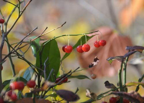 10月の赤い実_d0321585_20022801.jpg
