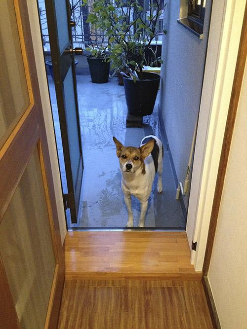 雨だけどお外で遊びたい犬_b0156872_16294913.jpg