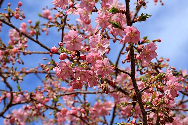 大慈寺のてんれい桜_b0186680_18344985.jpg