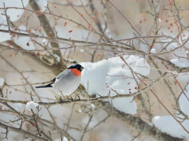 降雪後のウソ(1)_a0204089_68316.jpg