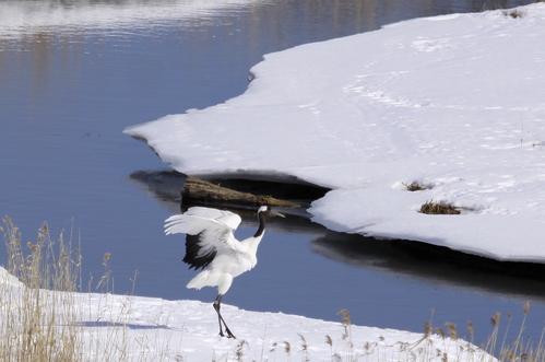 ツルちゃん湿原に帰る 3月10日_f0113639_16595398.jpg