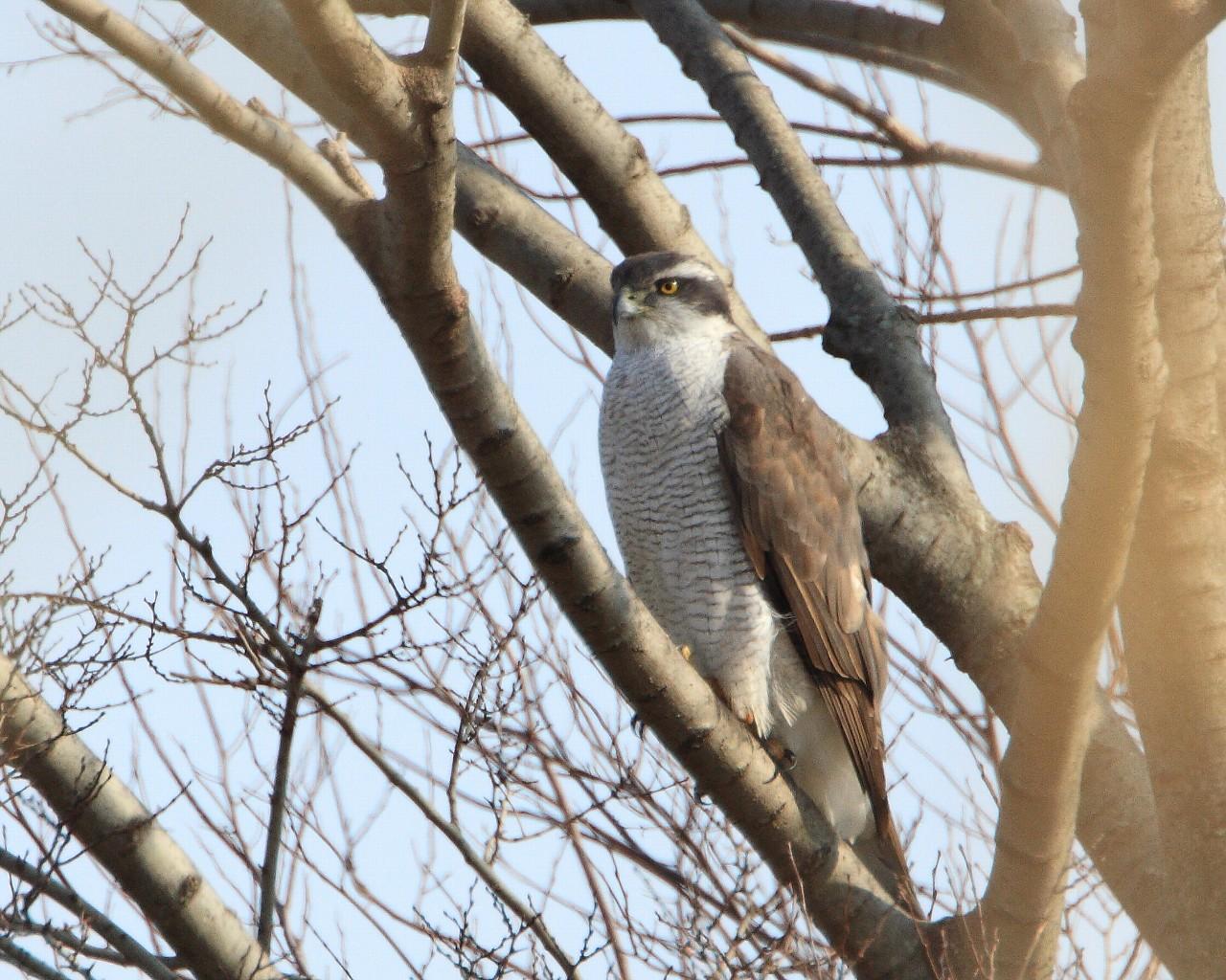 ムジセッカ(?)のポイントに居たオオタカ成鳥雌_f0105570_21374373.jpg