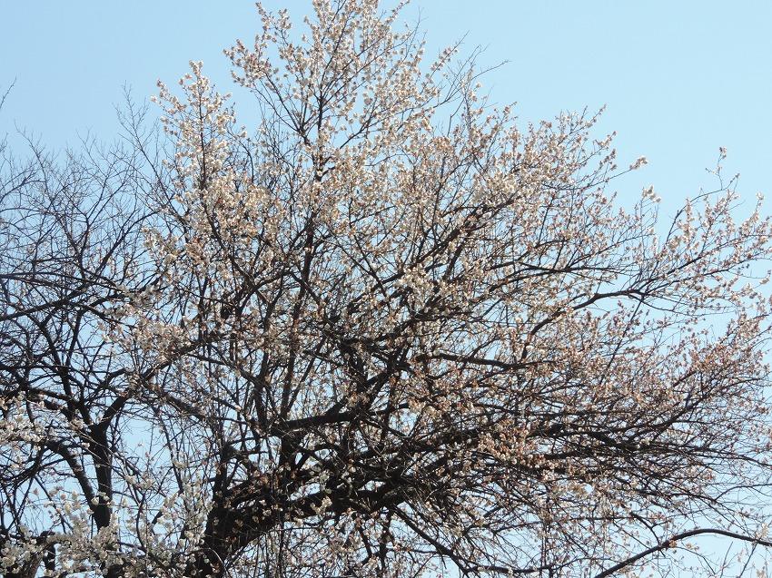 早咲きの桜_c0187781_23581171.jpg
