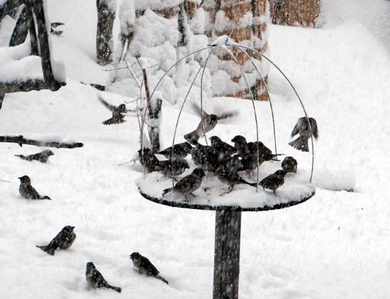 3月の雪と雀の餌台、ヒヨドリとムクドリなど_a0136293_16491267.jpg